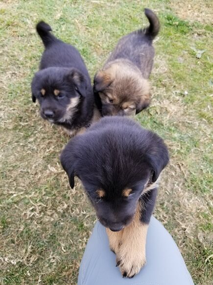 Annapurna puppies