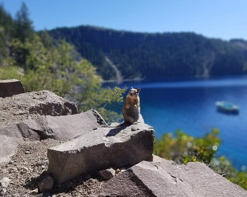 squirrel in Crater Lake National Park