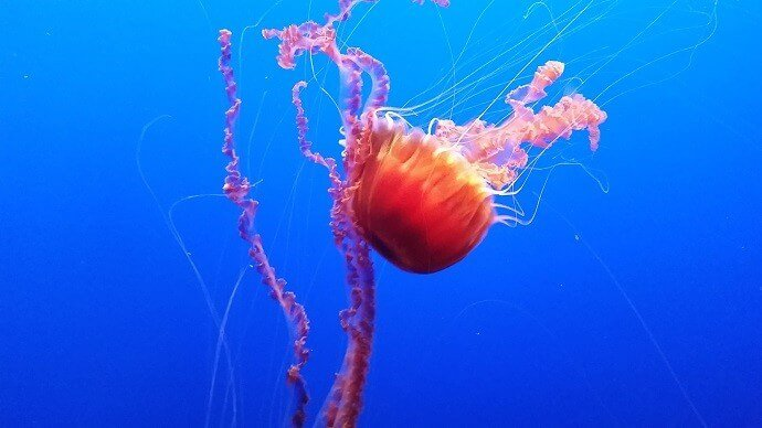 monterey bay aquarium jellyfish